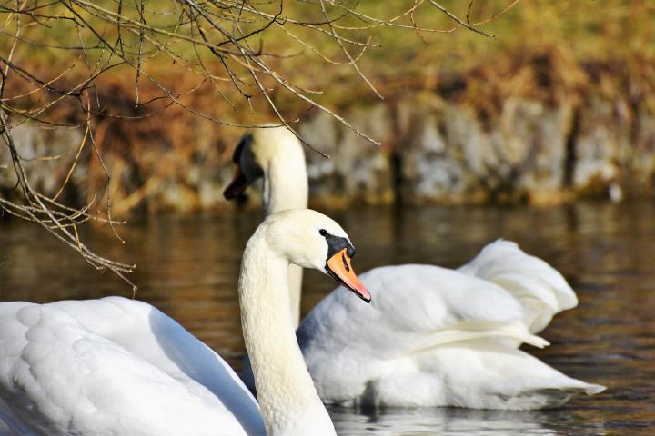swan-3165723_1920.jpg