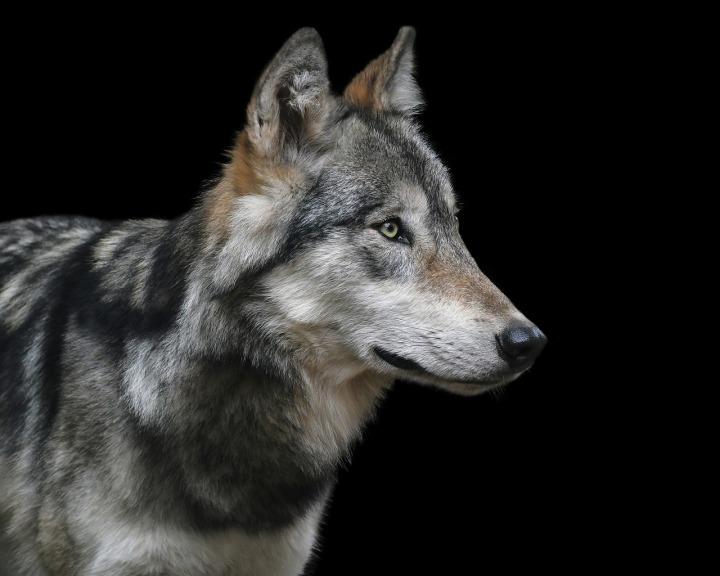 wolf-3037059_1280.jpg